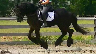 Friesian/Dutch Warmblood Gelding